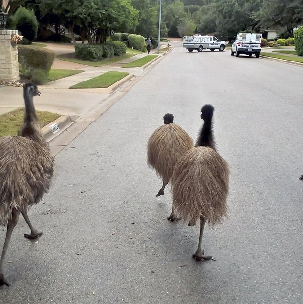 Quatro emus fugiram de casa no Texas. Na foto, aparecem três deles (Foto: Round Rock Police/AP)