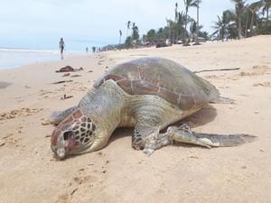 Tartaruga foi encontrada morta na tarde de domngo (26), em praia de Prado (Foto: Site Prado Notícia)