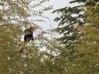 Fêmea de panda vermelho foge de zoo no Japão e é flagrada em árvore