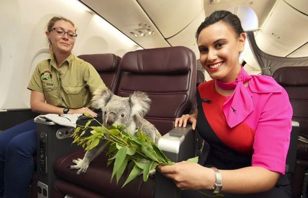 Coala recebe eucalipto no avião; planta é a base da alimentação desse animal (Foto: Qantas/Divulgação)