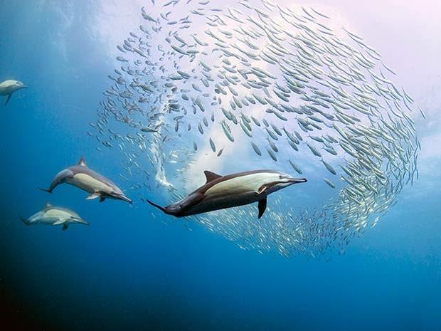 Fotógrafo brasileiro clicou golfinhos e outros predadores se aproximando de cardume de sardinhas na África do Sul (Foto: Daniel Botelho)