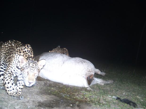 Onças-pintadas devoram vaca a 1 km de sede de pousada no Pantanal (Foto: Divulgação Pousada Aguapé)