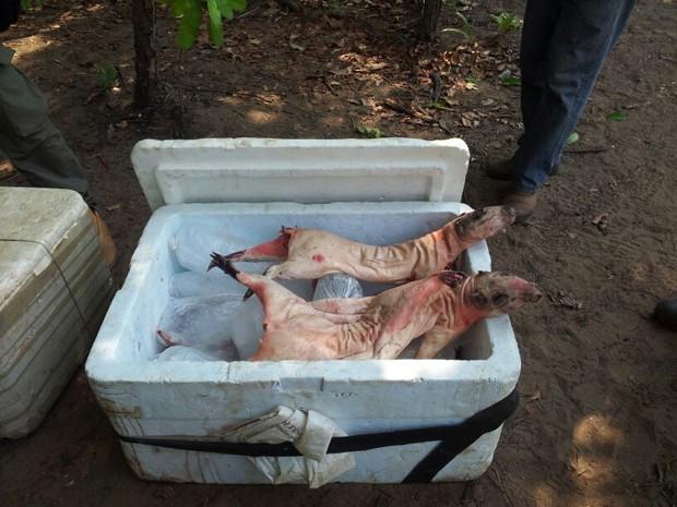 Pacas e cutias mortas são apreendidas no Maranhão (Foto: Divulgação/BPA)