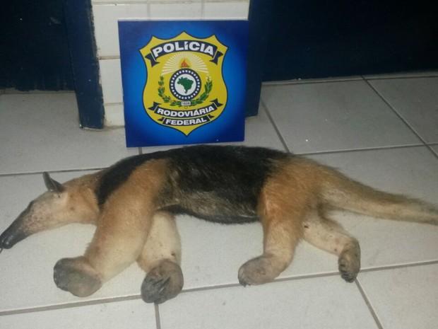 Animal apreendido em Floriano (Foto: Polícia Rodoviária Federal)