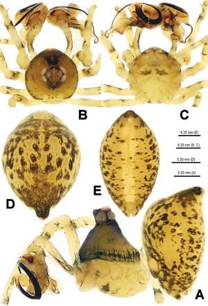 Estruturas de um macho da espécie de aranha 'Trogloneta yuensis' (Foto: Divulgação/ZooKeys)