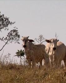 Abate de bovinos e frangos recua