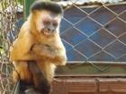 Veterinários de Assis, SP, atestam que macaco 'Chico' é fêmea