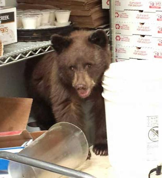 Filhote de urso invadiu pizzaria no centro de Colorado Springs (Foto: Colorado Springs Police Department)