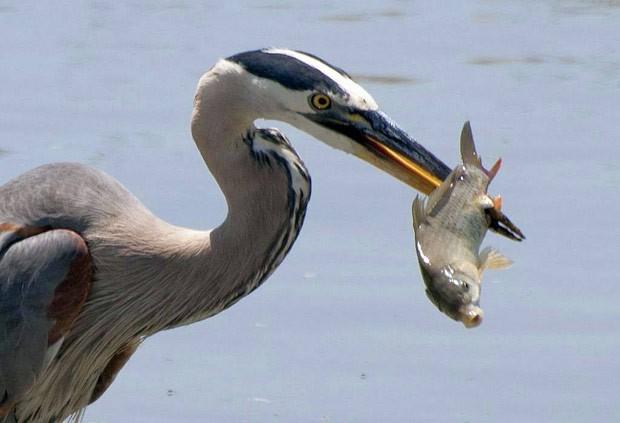 Garça-azul foi fotografada no momento em que capturava peixe  (Foto: Reprodução/Facebook/USFWS National Wildlife Refuge System)