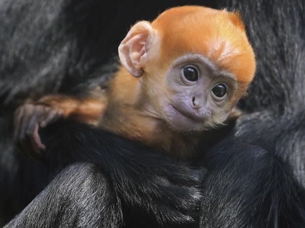 Filhote nasce com pelos avermelhados que escurecem na fase adulta (Foto: Gareth Fuller/AP)