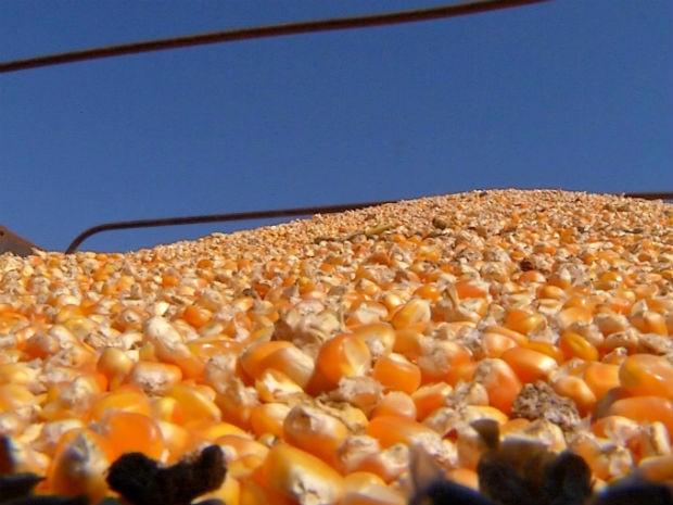 Uma colheita de 100 sacas de milho, 60 sacas são só para custear a produção (Foto: Reprodução/TV TEM)