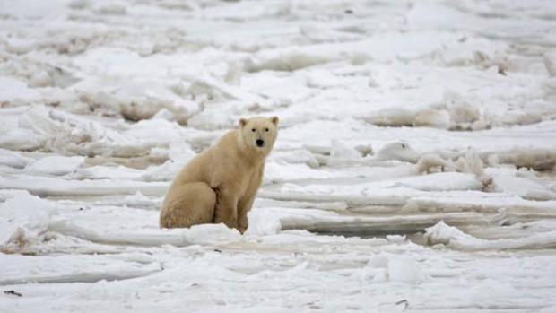 Ursos polares costumam evitar confronto  (Foto: Getty Images)