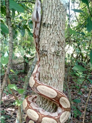 Cobras soltas em reserva florestal de Uberlândia (Foto: Polícia Militar de Meio Ambiente/ Divulgação)