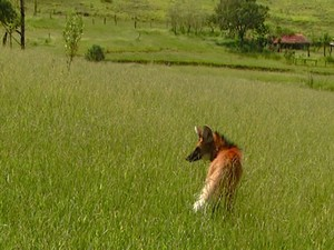 Lobo-guará achado em prédio foi solto em mata de Campinas (Fot Erlin Schmid/ EPTV)