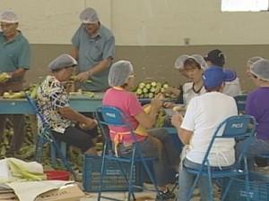 Voluntários preparam o milho para festa em Botucatu  (Foto: reprodução/ TV TEM)