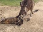 Vídeo fofo de canguru fazendo carícias em gato faz sucesso na web