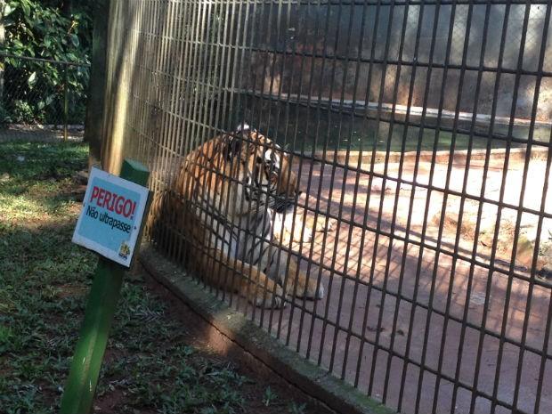 Tigre Hu voltou para a jaula no dia 4 de agosto, depois de ficar isolado por cinco dias (Foto: Franciele John/ G1)