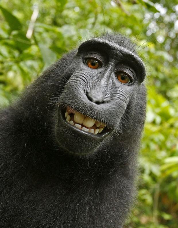 Em julho de 2011, um fotógrafo se surpreendeu com as imagens feitas por um macaco da espécie Macaca nigra, que roubou sua câmera e acabou fazendo um 'sorridente' autorretrato em um pequeno parque nacional na ilha de Sulawesi, na Indonésia (Foto: Wild Monkey/David Slater/Caters News)