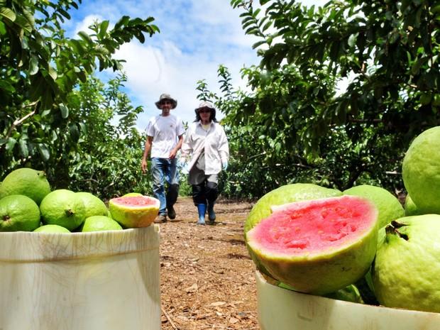 Frutas colhidas na propriedade do casal de produtores, em Brazlândia (Foto: Tony Winston/Agência Brasília)