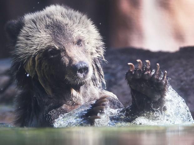 A filhote de urso-pardo Juneau brinca na água durante sua primeira aparição pública no Palm Beach Zoo, na quinta (17) (Foto: Joe Raedle/Getty Images/AFP)