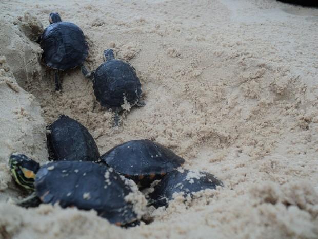 De acordo com estudiosos do universo da espécie, a cada mil filhotes do animal que nascem no litoral brasileiro, apenas uma vai alcançar a idade reprodutiva (Foto: Divulgação/Secom)