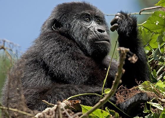 O futuro dos gorilas-das-montanhas parece ser hoje mais promissor do que há algumas décadas. (Foto: © Haroldo Castro/Época)