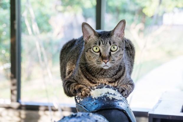 gray striped cat scratching a black chair. (Foto: Getty Images/iStockphoto)