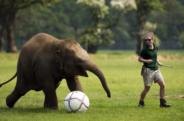 Elefanta está aprendendo a jogar futebol no zoológico de Whipsnade. (Foto: Adrian Dennis/AFP)