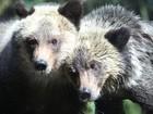 Filhotes órfãs de urso-pardo são apresentadas ao público nos EUA