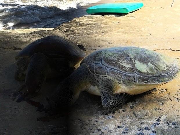 Duas tartarugas encontradas na Praia do Bessa, em João Pessoa (Foto: David Montenegro / Arquivo Pessoal)