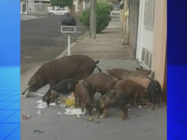 Porcos foram flagrados mexendo no lixo em Marília (Foto: Reprodução/TV TEM)