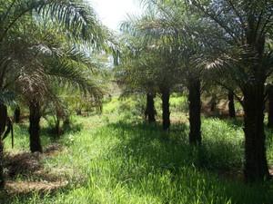 Cada hectare de plantação produz de 4 a 6 toneladas/ano de óleo para biodiesel (Foto: UFV/Digulgação)