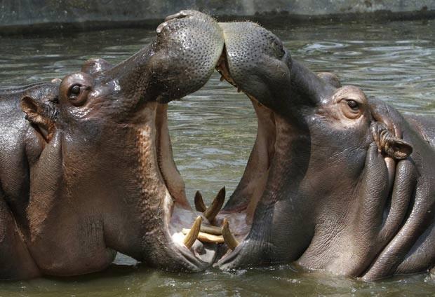 Hipopótamos pode pesar até 2.750 quilos  (Foto: B. Mathur/Reuters)