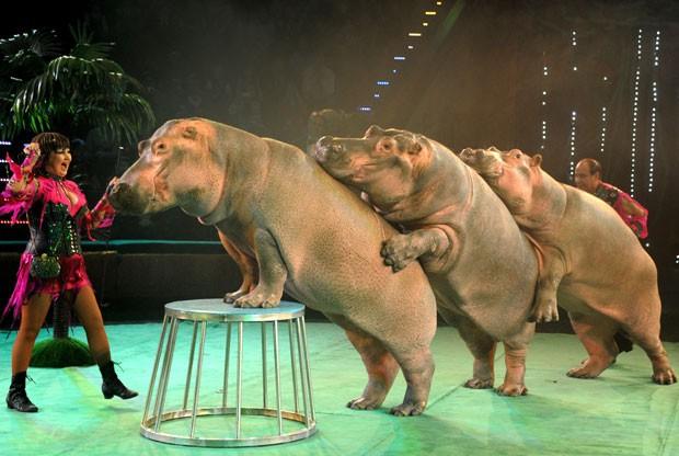 Três hipopótamos fizeram 'trenzinho' durante uma apresentação na quarta-feira (30) de um zoológico em Minsk, capital de Belarus (Foto: Viktor Drachev/AFP)