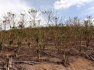Plantação de café destruído por causa da secae do granizo  (Foto: Reprodução/ TV Gazeta)