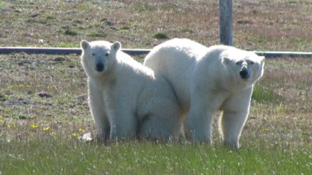 Ursos polares não costumam atacar humanos, mas casos assim vêm se tornando mais frequentes (Foto: Victor Nikiforov/WWF)