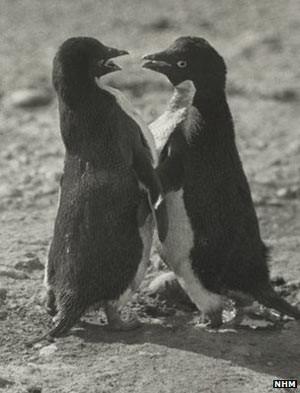 Relato de comportamento sexual 'depravado' de pinguins é divulgado (Foto: BBC)