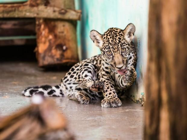 Em extinção: a fêmea de onça pintada, ainda sem nome, tem quatro meses e cerca de oito quilos (Foto: Alexandre Marchetti / Itaipu Binacional)