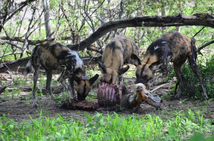Cães selvagens usam espirros para democracia (Foto: Reprodução/Megan Claase)
