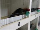 FPI desmonta rinha de galos em chácara em Delmiro Gouveia, Alagoas