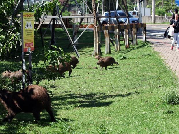 Família de capivaras em Piracicaba (Foto: Mateus Medeiros/Arquivo pessoal)