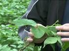 Safra das águas provoca desânimo em produtores de feijão preto do PR