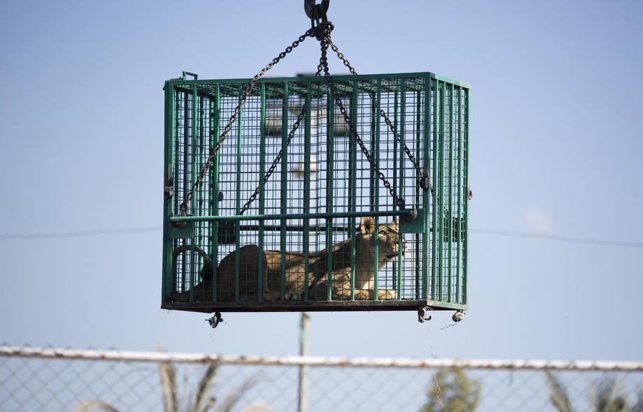 Funcionários do Zoológico de Al-Bisan, na Faixa de Gaza, transportam leões em jaulas. Os leões serão transferidos para a Jordânia após o conflito entre Israel e o Hamas danificar o zoo
