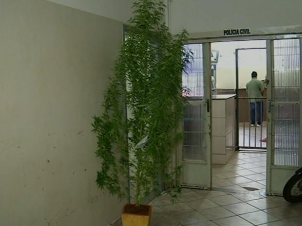 Polícia apreende pé de maconha com quase três metros de altura em Anápolis, Goiás (Foto: Reprodução/TV Anhanguera)