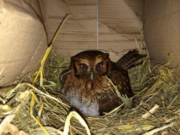 Coruja teve dois filhotes no ninho da galinha (Foto: Argeu Almeida/ RPCTV)