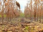 Chuva atrapalha a colheita da soja e do arroz no Rio Grande do Sul