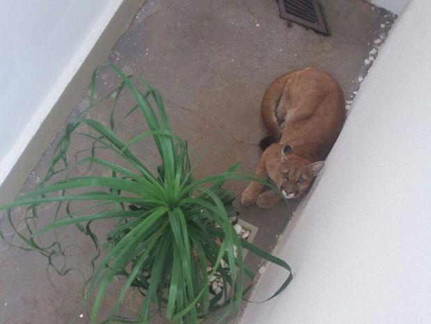 Onça estava no quintal de uma casa em Bastos (Foto: Corpo de Bombeiros/Divulgação)