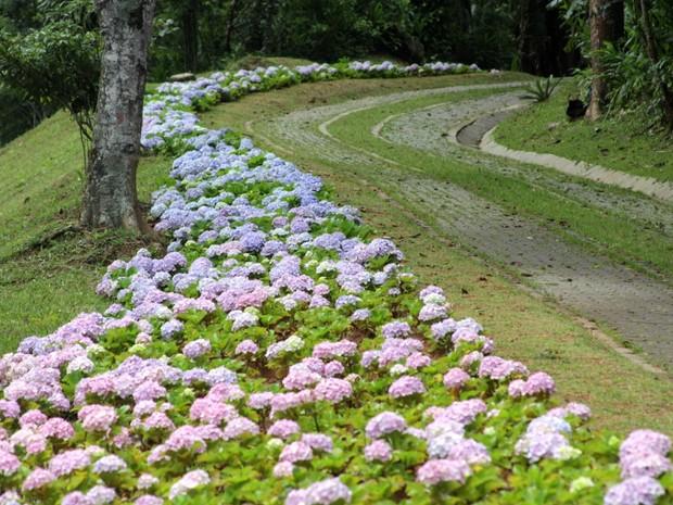 Hortências no Parque Natural do Ipiranga em Petrópolis (Foto: Divulgação/Prefeitura de Petrópolis)