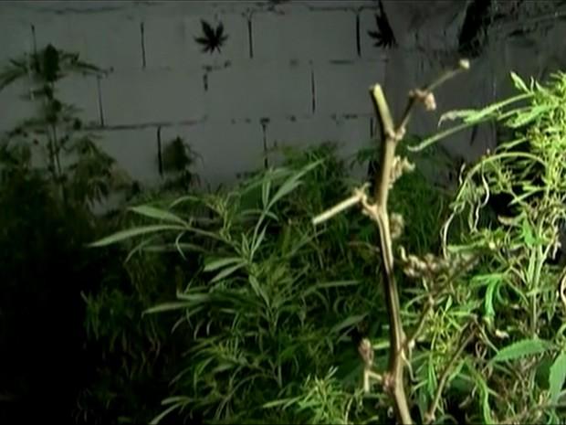 Uruguai legaliza a maconha no país/GNews (Foto: Reprodução Globo News)