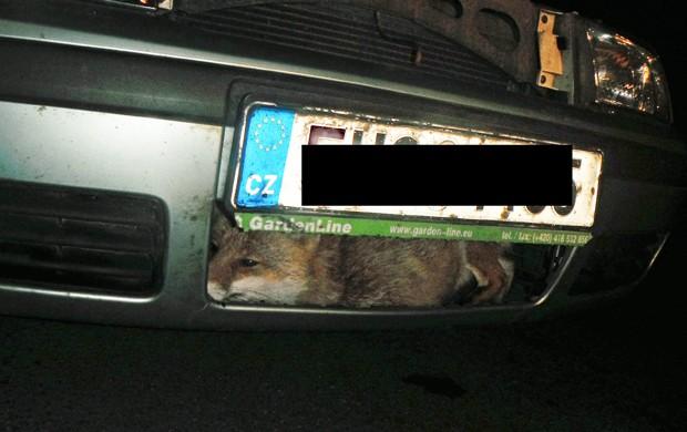 Animal ficou preso em parachoque após ser atingido por carro na República Tcheca (Foto: Divulgação/Litomerice City Police)